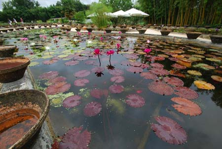 Water Lily Nursery